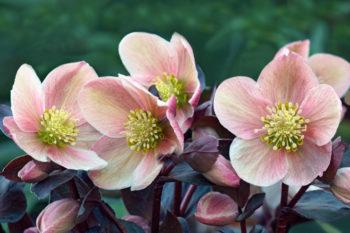 helleborus orientalis - Hortus Focus
