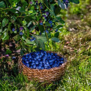 récolte de myrtilles - Hortus Focus