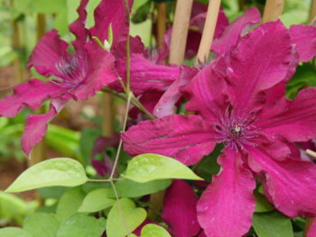plantes grimpantes Clématite 'Rüütel' - Hortus Focus