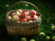 Récolte de pommes - Hortus Focus