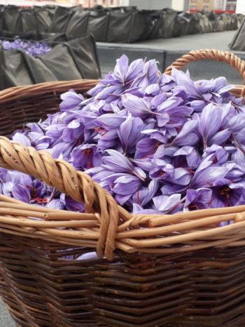 Fleurs de safran - Hortus Focus