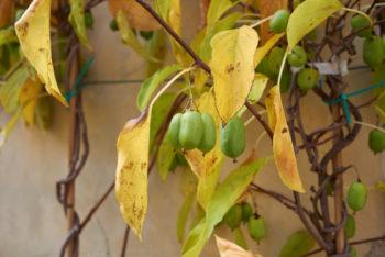 Actinidia arguta - Hortus Focus