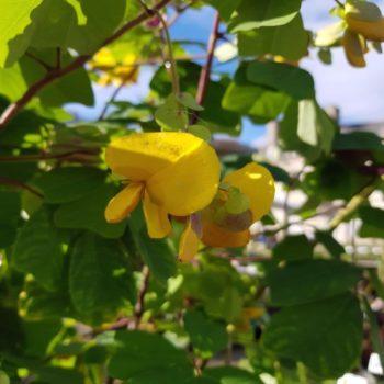 Amicia zygomeris - Hortus Focus