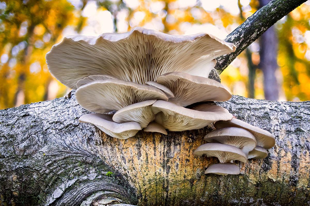 champignon sur tronc d'arbre - Hortus Focus