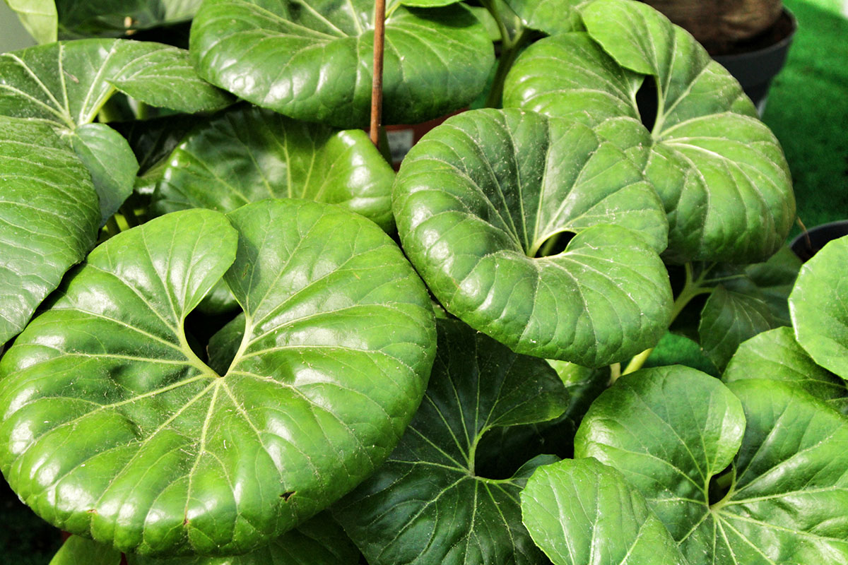 Farfugium japonicum