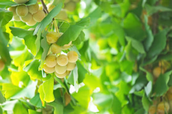 Gingko biloba fruits