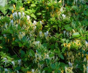 Lonicera japonica - Hortus Focus