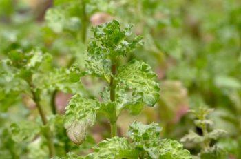 Plante indéfrisable : Menthe crispée - Hortus Focus