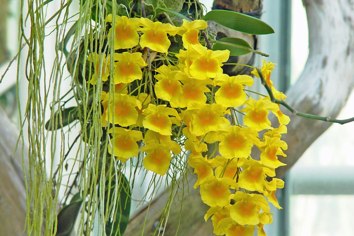 Orchidée - Hortus Focus
