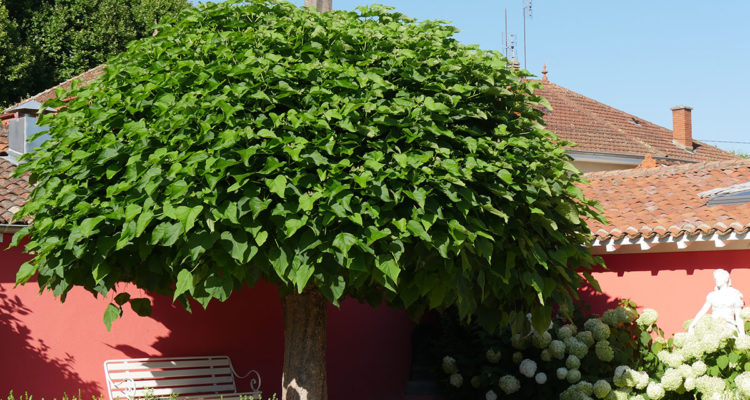 Catalpa bignonoides - Hortus Focus
