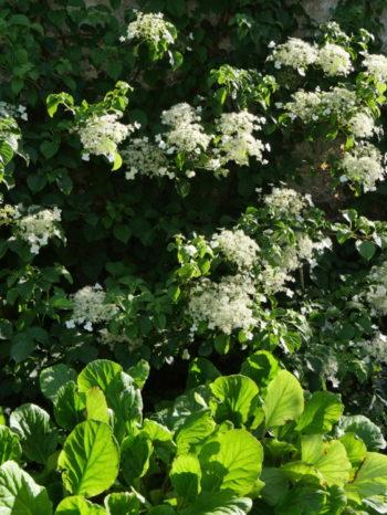 Hydrangea petiolaris - Hortus Focus