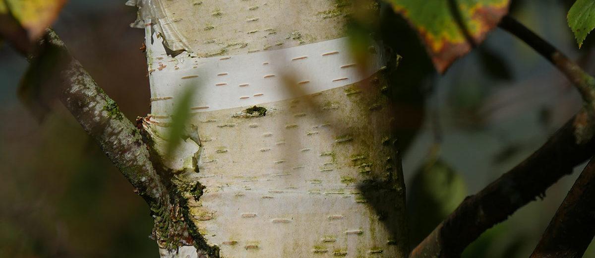 Betula pendula 'Spider Alley' ©Isabelle Morand