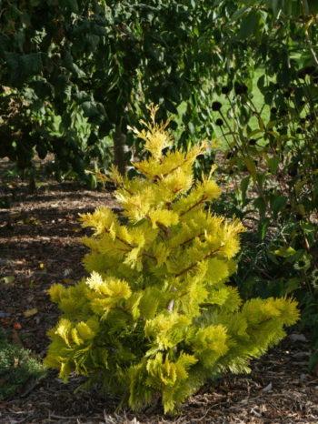 Calocedrus decurrens Berrima Gold - Hortus Focus
