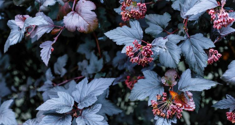 Physocarpus - Hortus Focus