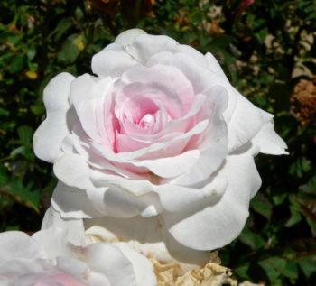 Rosa alba Pompon Blanc parfait - Hortus Focus