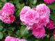 rosa centifolia - Hortus Focus