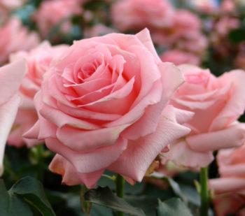 Rose La Noblesse - Hortus Focus