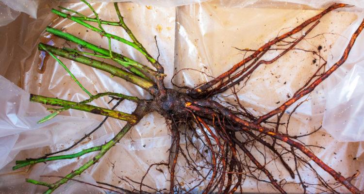 rosier à racines nues - Hortus Focus