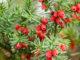 Taxus beccata - Hortus Focus