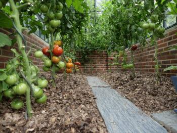 serre avec tomates
