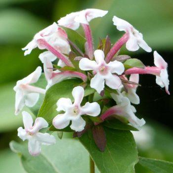 Abelia monasensis 'Monia'