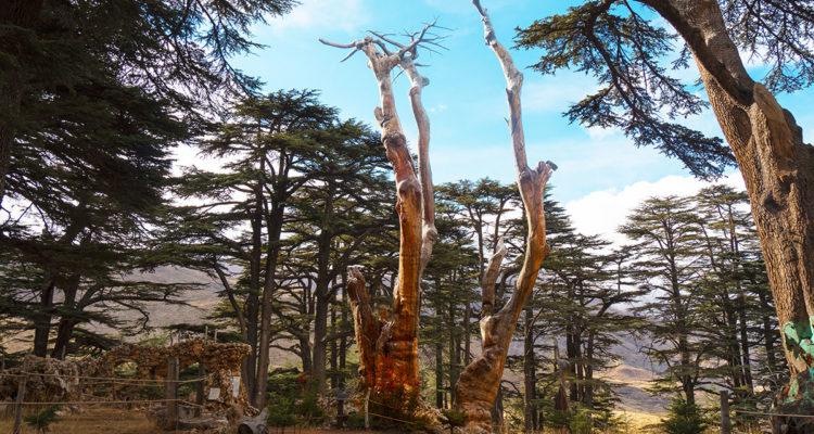 Forêt des cèdres de Dieu