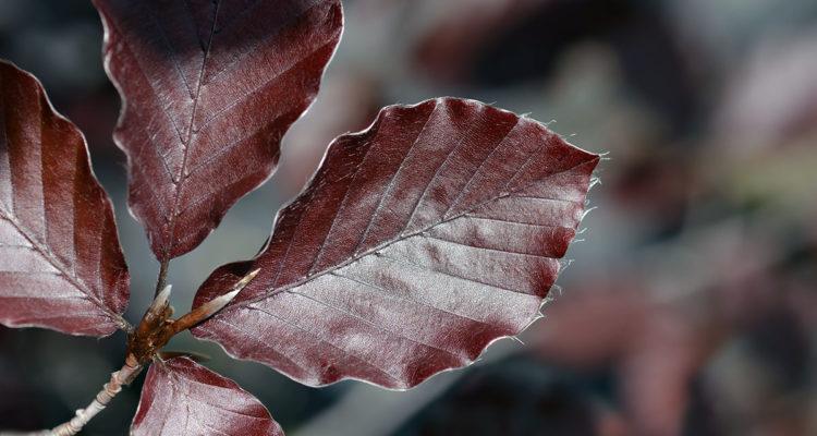 Fagus sylvaticus 'Dawyck Purple'