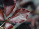 Fagus sylvaticus 'Dawyck Purple'