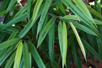 Ficus binnendijks
