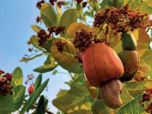 Fruits tropicaux- -pomme et noix de cajou