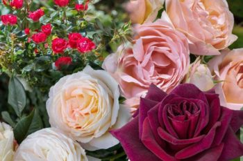 Roses meilland