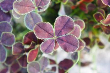 Trifolium repens purpurascens quadrifolium