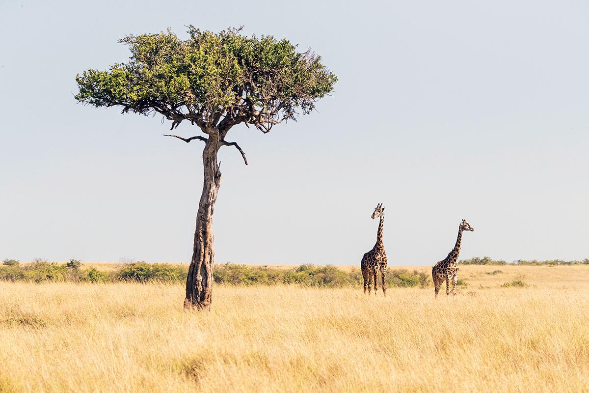 Vachellia et girafe