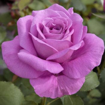 rose Claude Brasseur
