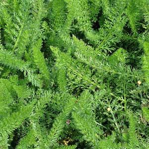 Achillea millefolium : feuilles