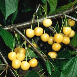Cerisier 'Stark Gold'