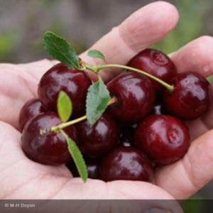 Cerisier 'Cherry Boop'