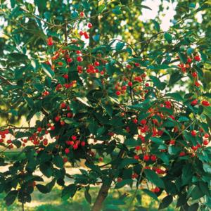 Cerisier 'Griotella'