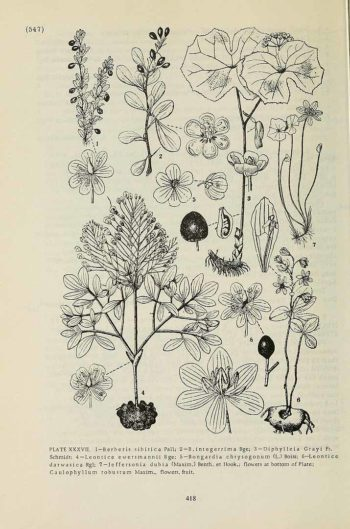 Fleur japonaise Diphylleia grayi