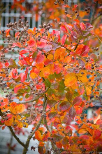 lagerstroemia automne