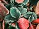 fraisiers givrés