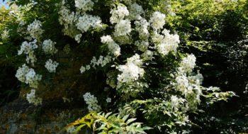rosiers pour la mi-ombre : rosier 'Kiftsgate' Hortus Focus