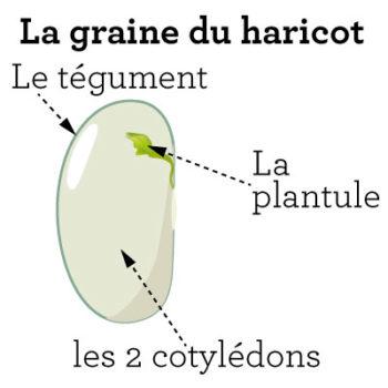 Description de la graine - Hortus Focus