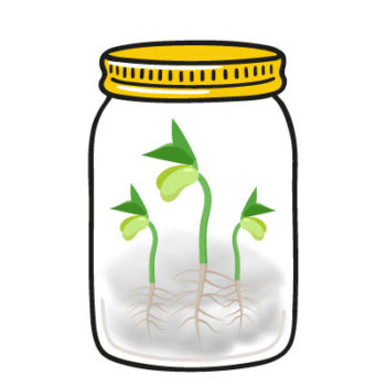 Faire germer le haricot - Hortus Focus
