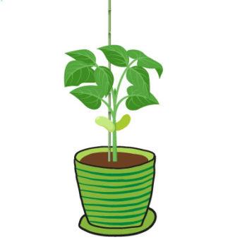 La croissance du haricot - Hortus Focus