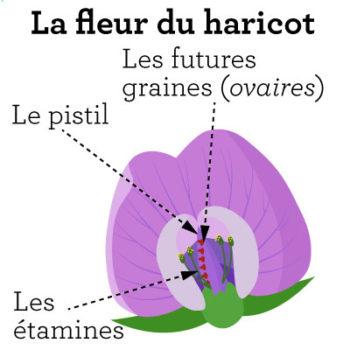La fleur du haricot : decription