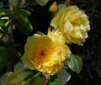 rosiers pour la mi-ombre : rosier 'Graham Thomas' - Hortus Focus