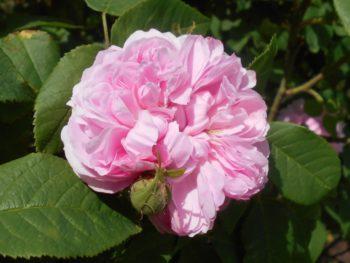 rosiers pour la mi-ombre : Rosier Jacques Cartier