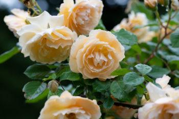 rosiers pour la mi-ombre : Rosa 'Buff Beauty'