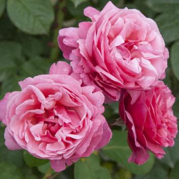 rosier Line Renaud